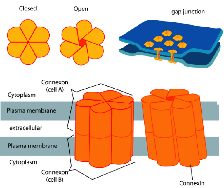 Gap junctions and their building blocks